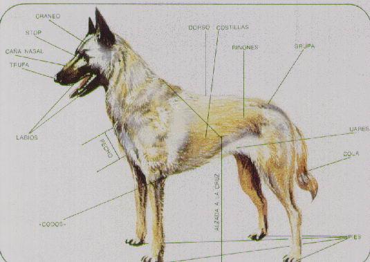 Morfologia Del Perro