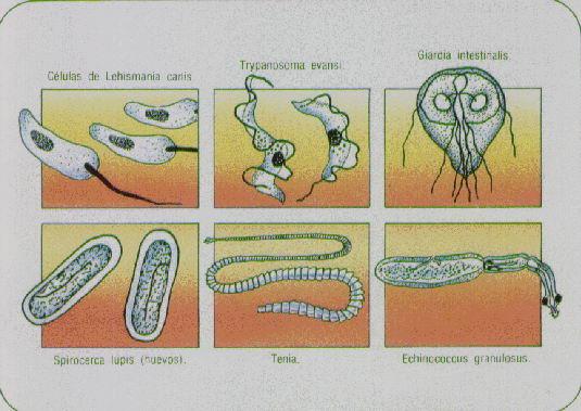 La tintura del tanaceto de las lombrices