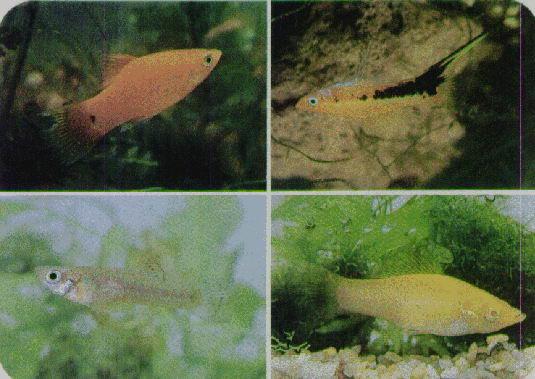 Cria de ovoviviparos for Cria de peces ornamentales